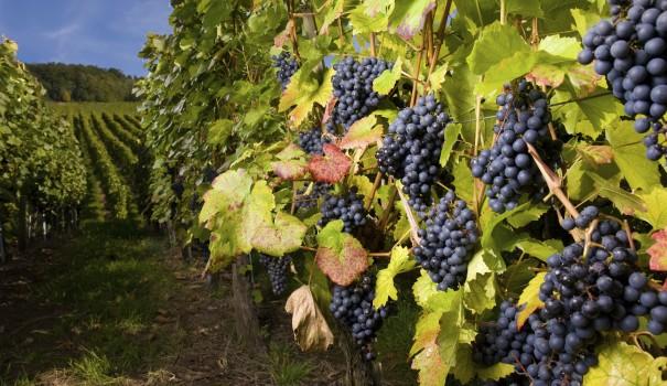 A sunny vineyard
